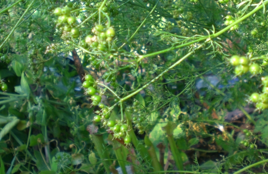 The leaves are called cilantro, and used in ethnic cooking