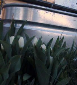 White emporor tulips on the west side of my 100 gallon horse trough