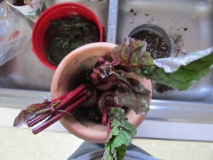 BIrd's eye view of 3 beets in a pot, before another layer of soil is added.