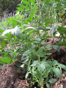 Tomato A, with rich chunky, water retaining compost.